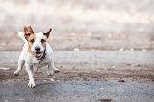 Dog running. Jumping pet at autumn poster