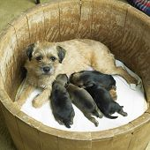 pic of border terrier  - female dog with puppies  - JPG