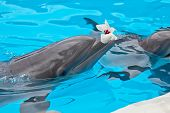 foto of grampus  - bottlenose dolphin in aquarium with flower on mouth - JPG