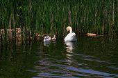 Swan family in the lake.