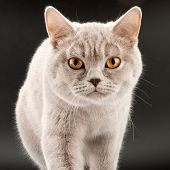 Close-up of purebred walking little tabby kitten poster