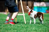 Brown And White Border Collie During Obedience Training, Dog Artist poster