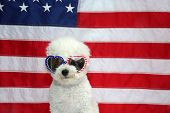 Small White dog with American Flag. Small White dog represents 4th of July Concept with American Fla poster