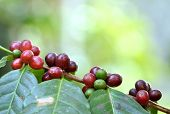 Coffee tree with ripe berries on farm, Bali island