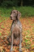 A German Shorthaired Pointer, 3 Year Old Male, White And Brown poster