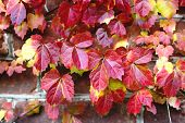 Red Ivy Leaves On Brick Wall At Autumn. Season Changing Beautiful Background. poster