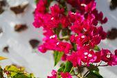 Closeup Of Bougainvillea Flowers And Bougainvillea Plant Tree Over White Architecture Of Santorini, poster
