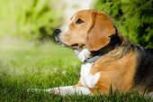 Dog Beagle Lying On The Green Grass Field. Female Beagle Outdoor poster