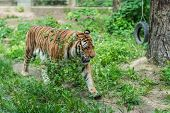 Powerful But Sad Mighty Striped Tiger Walking In Captivity In The Zoo poster