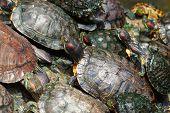 Schildkröten in der jade Kaiser-Pagode in vietnam