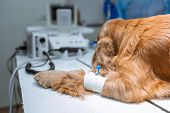 A Dog With A Catheter In Its Paw Is Lying On The Operating Table In A Veterinary Clinic. A Cocker Sp poster