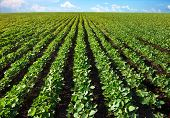 Field Of Young Shoots Of Soy. Thick Rows Of Soybean Plants Growing In A Field In The Rays Of The Sun poster
