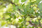 Garden Gooseberry, Ripe Berries On A Branch With Leaves. Bush Gooseberry Currant With Ripe Fruits. G poster