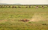Wild Cheetahs chasing a rabbit