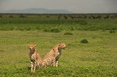 Two wild cheetahs with wildebeest in the background