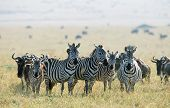 stock photo of wildebeest  - Zebras and Wildebeests - JPG