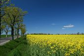 picture of yellow flower  - Yellow rapeseed field in spring time - JPG