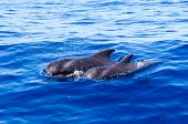Pilot whales Mother and Calf
