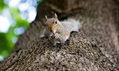Cute Eastern Gray Squirrel, Sciurus Carolinensis, Hanging Upside Down On A Tree Trunk And Holding Pe poster