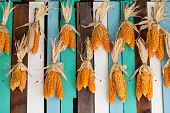 Dried Corn Hung On Colorful Wooden Wall