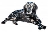 stock photo of spotted dog  - English setter dog isolated in white background - JPG