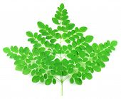 picture of oleifera  - Edible fresh moringa leaves over white background - JPG