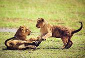 Small lion cubs playing on savannah. Ngorongoro crater in Tanzania, Africa.