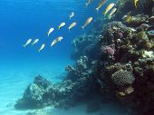 coral reef with shoal of goatfishes on the bottom of tropical sea