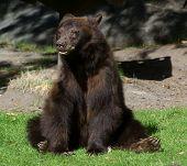 Bear Relaxed