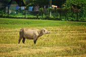 foto of langkawi  - Cow on the pasture on Langkawi island Malaysia - JPG