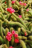 picture of stippling  - many red cacti blossoms from a green cactus - JPG