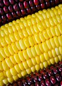stock photo of zea  - Background Of Red And Yellow Corn Ear - JPG