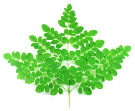 picture of malunggay  - Edible fresh moringa leaves over white background - JPG