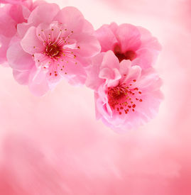 foto of cherry blossoms  - Spring cherry blossoms on pink background with copyspace - JPG