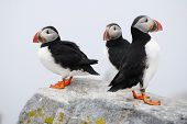 3 Puffins on a Rock Ledge