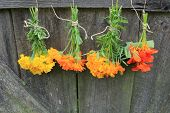 stock photo of nasturtium  - Fresh tagetes - JPG