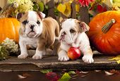 stock photo of bulldog  - English bulldogs and a pumpkin - JPG