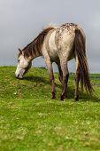 Gray Horse Grazing