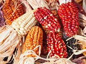 foto of corn-silk  - Decorative corn on the autumn market - JPG