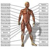 High resolution concept or conceptual 3D human anatomy and muscle isolated on white background as a