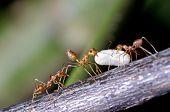 weaver ants moving their egg