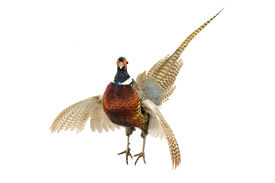 image of game-cock  - Male Pheasant  - JPG