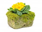 Yellow primrose in a mossy flower trough