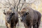 Two Wild European Bison (bison Bonasus) In Autumn Deciduous Forest