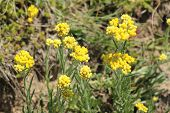 foto of dwarf  - Immortelle - Helichrysum arenarium is also known as dwarf everlast