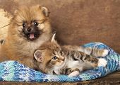 stock photo of coon dog  - Spitz puppy and kitten breeds Maine Coon - JPG