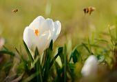 White Crocus Flower Bloom