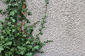 picture of ivy vine  - Vines of ivy grow up the side of a rough white stucco wall in the Pacific Northwest - JPG