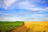 Weizen und Mais