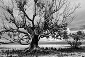 Dramatic greyscale landscape of the dense tracery of the leafless branches a dead mangrove tree stan